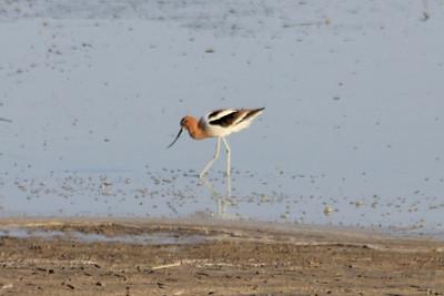 July 6, 2012 (Quivira National Wildlife Refuge [Little Salt Marsh] / Great Bend, Stafford County, Kansas) -- American Avocet