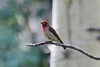 July 8, 2012 (Vail Mountain [from Berry Picker Trail] / Vail, Eagle County, Colorado) -- Cassin's Finch