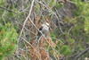 July 8, 2012 (Vail Mountain [from Berry Picker Trail] / Vail, Eagle County, Colorado) -- Gray Jay