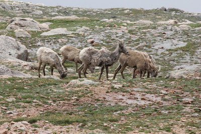 July 9, 2012 (Mount Evans [from road near the summit] / Idaho Springs, Clear Creek County, Colorado) -- Mountain Goats