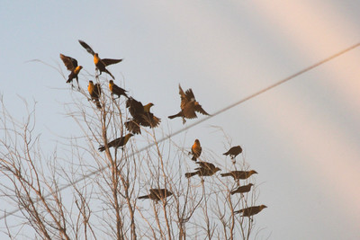 July 6, 2012 (Quivira National Wildlife Refuge [near Migrant's Mile Nature Trail] / Great Bend, Stafford County, Kansas) -- Yellow-headed Blackbirds [almost sunset]