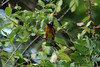 July 11, 2012 (Veltus Park [on park shrubs] / Glenwood Springs, Garfield County, Colorado) -- Black-headed Grosbeak