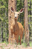 July 8, 2012 (Vail Mountain [from Berry Picker Trail] / Vail, Eagle County, Colorado) -- Mule Deer