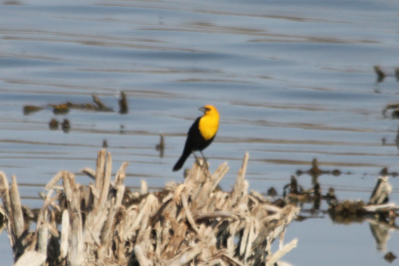 July 6, 2012 (Quivira National Wildlife Refuge [near Migrant's Mile Nature Trail] / Great Bend, Stafford County, Kansas) -- Yellow-headed Blackbird