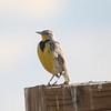 Western Meadowlark @ Rocky Mountain Arsenal NWR [Wildlife Drive]