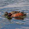 Cinnamon Teal (Pair) @ Rocky Mountain Arsenal NWR [Ladora Lake]