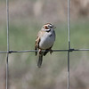 Lark Sparrow @ Rocky Mountain Arsenal NWR [Wildlife Drive]