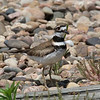Killdeer @ Quivira National Wildlife Refuge