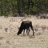 Moose (Alces Alces) @ Rocky Mountain National Park [Trail Ridge Road]