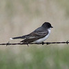 Eastern Kingbird @ Quivira National Wildlife Refuge