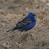 Blue Grosbeak (Male) @ Quivira National Wildlife Refuge