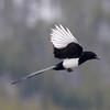 Black-billed Magpie @ Camp Hale South RA