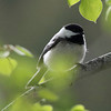 Black-capped Chickadee @ Walking Mountains Science Center