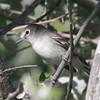 Plumbeous Vireo @ Rocky Mountain Arsenal NWR [Woodland Trail]