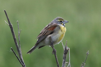Dickcissel @ Cheyenne Bottoms Preserve [The Nature Conservancy]