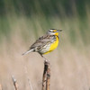 Western Meadowlark @ Quivira National Wildlife Refuge