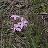 Alpine Phlox (Polemoniaceae Phlox Condensata) @ Walking Mountains Science Center