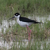 Black-necked Stilt @ Quivira National Wildlife Refuge