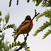 Baltimore Oriole @ Quivira National Wildlife Refuge [Migrants Mile Trail]