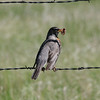 American Robin @ Crow Valley Campground