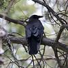Common Raven @ Vail Nature Center