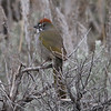 Green-tailed Towhee @ Camp Hale South RA