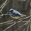 Lazuli Bunting @ Crow Valley Campground