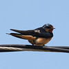 Barn Swallow @ Quivira National Wildlife Refuge