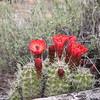 Claret Cup Cactus (Echinocereus) flowers