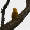 Yellow Warbler (Male) @ Quivira National Wildlife Refuge [Migrants Mile Trail]