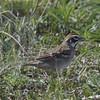 Lark Sparrow @ Rocky Mountain Arsenal NWR [Lake Mary]