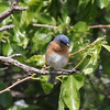 Eastern Bluebird @ Quivira National Wildlife Refuge
