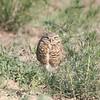 Burrowing Owl @ Rocky Mountain Arsenal NWR [Wildlife Drive]