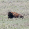 American Bison (Bison Bison) @ Rocky Mountain Arsenal NWR [Wildlife Drive]