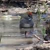 Green-tailed Towhee (bathing) @ Rocky Mountain Arsenal NWR [Wildlife Drive]