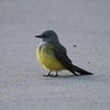 Western Kingbird @ Rodeway Inn [parking lot]