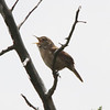 House Wren @ Quivira National Wildlife Refuge [Migrants Mile Trail]