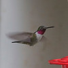 Broad-tailed Hummingbird (Male) @ Cake Bakery in Georgetown