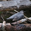 American Dipper @ Vail Nature Center