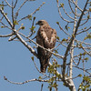 Red-tailed Hawk (young)