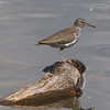 Spotted Sandpiper @ Rocky Mountain Arsenal NWR [Lake Mary]