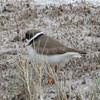 Semipalmated Plover @ Quivira National Wildlife Refuge [Big Salt Marsh]