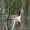 Wilson's Phalarope @ Quivira National Wildlife Refuge
