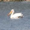 American White Pelican @ Rocky Mountain Arsenal NWR [Derby Lake]