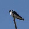 Tree Swallow @ Rocky Mountain Arsenal NWR [Lake Mary]
