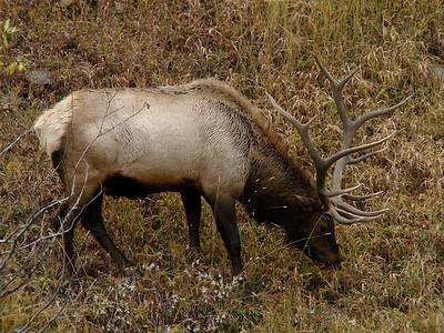October 12, 2010 - (Rocky Mountain National Park [Hidden Valley parking lot] / Larimer County, Colorado) -- Bull Elk