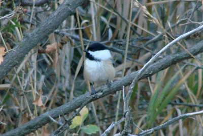 October 11, 2010 - (Bobcat Ridge Natural Area / Masonville, Larimer County, Colorado) -- Black-capped Chickadee
