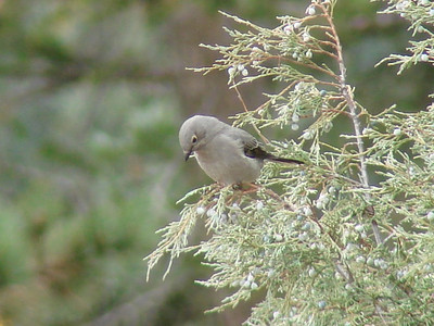 October 12, 2010 - (Rocky Mountain National Park [Cow Creek Trail] / Larimer County, Colorado) -- Townsend's Solitaire