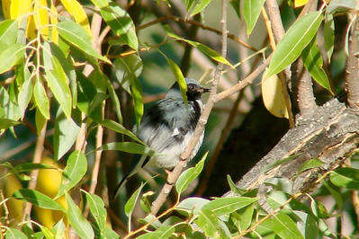 October 11, 2010 - (Bobcat Ridge Natural Area / Masonville, Larimer County, Colorado) -- Male Black-throated Blue Warbler