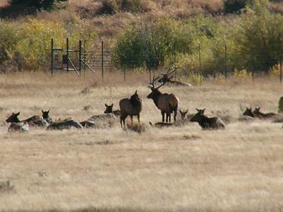 October 11, 2010 - (Rocky Mountain National Park [Sheep Lakes] / Larimer County, Colorado) -- Elk